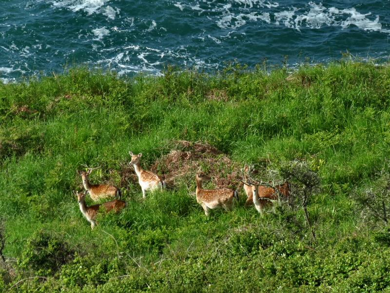 Fallow Deer, Rame Head to Penlee