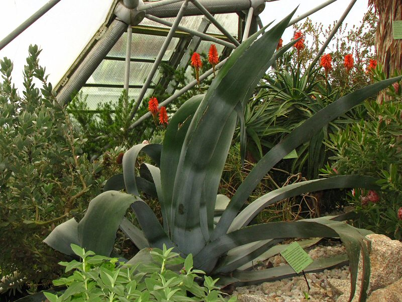 The Agaves -  Mediterranean Biome