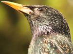 Starling, Plymouth