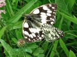 Marbled White, Penlee Point