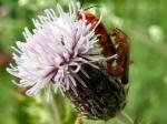 Meadow Thistle