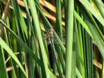Common Hawker Dragonfly , Slapton Ley