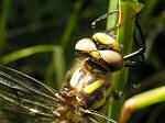 Golden-ringed Dragonfly - Slapton Ley