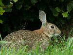 Rabbit, Brentor