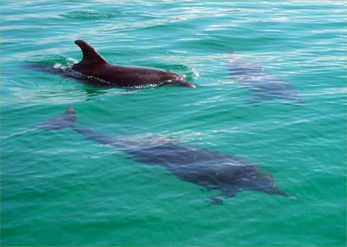Cornish Dolphins